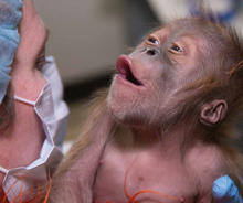 photo of baby orangutan delivered by c-section